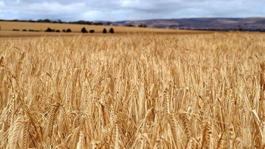 Australian barley field