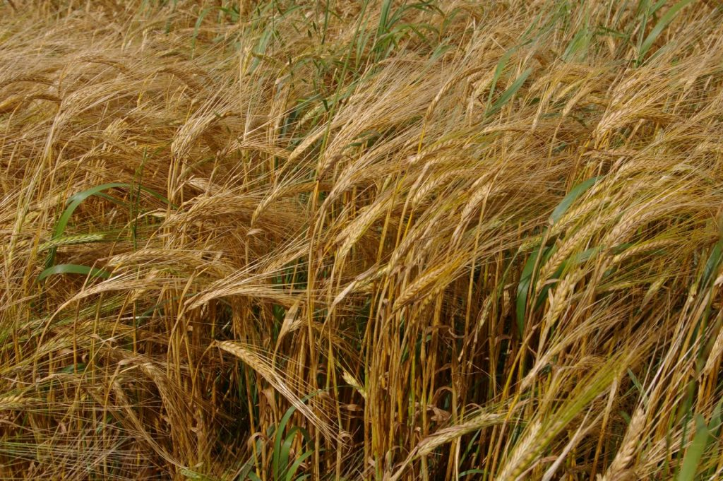 Japanese barley field